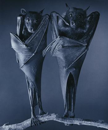 Flach_egyptian_bats